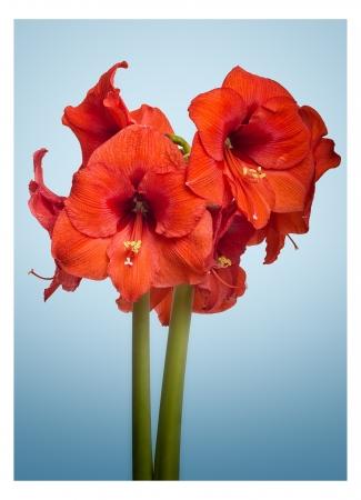 loveliness: Amaryllis Flower Stock Photo