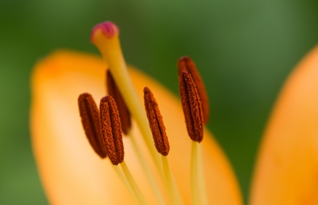 gynoecium: Lilium - close-up of flower pistils
