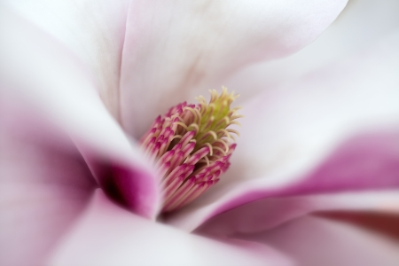 White Magnolia flower that is blooming, in soft focus,  photo