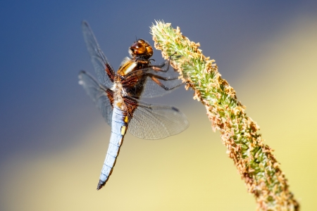 Dragonfly at rest - Libellula depressa photo