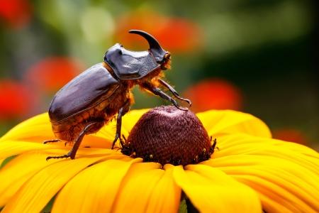 Rhino Beetle photo