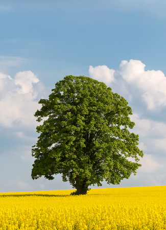 Solitary large tree in a yellow rapeseed field  photo