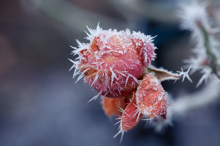 is covered: Rose covered with hoarfrost