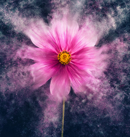 cosmea flower Stock Photo