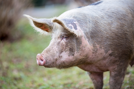 Portrait of big organic free range curious pig getting closer to the camera, photo taken in a garden in Serbia with blurred background