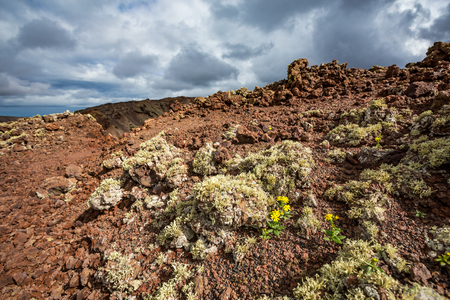 Tiny yellow plants blossoming with yellow flowers survive on a volcano hillslope in Lanzarote, Canary Islands, Spain