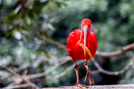 Beautiful red bird called Scarlet Ibis holds its food, a small yellow fish in its beak, looking at the camera, selective focus on eyes