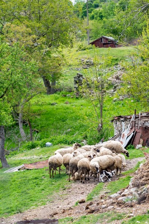 Flock of sheep gathered in a yard near small mountain hut in Bulgaria. Springtime green vertical landscape with selective focus. Mother helps tiny lamb to stand up on its hooves