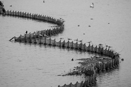 Birds are standing on fishing net fence, black and white picture, at Kerkini lake in Northern Greece during a cold winter day 写真素材