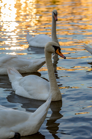 Portrait of a gorgeous swan swimming among other birds in the waters of Vltava river in Prague, Czech Republic, during the Golden Hour