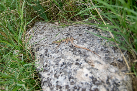 Matera, Italy, viviparous lizard or common lizard, Zootoca vivipara, formerly Lacerta vivipara, resting on granite stone with green grass around in the background. Shallow selective focus