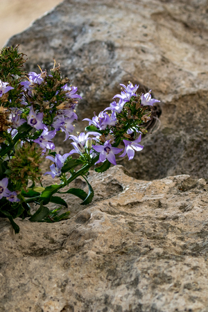 Soft focus of beautiful tender purple flowers with five petals ground on dry rock with holes in Matera, Basilicata region of Southern Italy. Summer sunny day