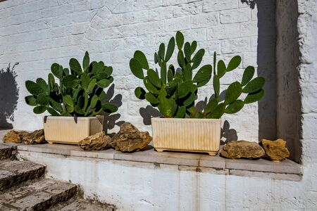 Big green cactus plants grow in two earthen pots in Laterza, Puglia region, Southern Italy in summertime, white wall background