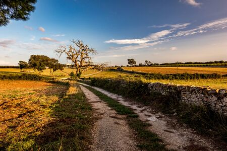 Late summer afternoon countryside landscape with gravel road, dry dead walnut tree, Puglia, Southern Italy near the town of Alberobello, colored by golden Sun rays