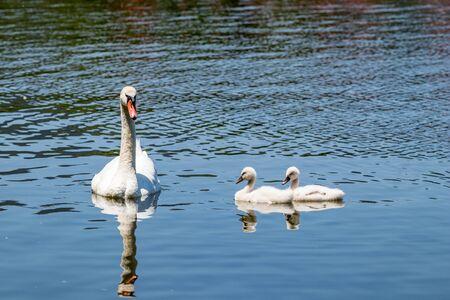 Family of amazing beautiful white swans swimming in the calm blue water of Pamvotida lake, Ioannina Epirus, Greece, spring daytime