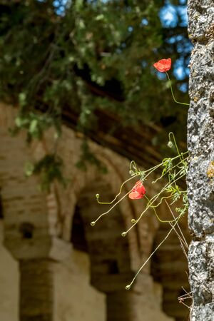 Street view, poppy plants growing and blossoming at the stone walls of Aslan Pasha Mosque in the fortress of Ioannina in Greece, sunny spring day, selective shallow focus Stock Photo
