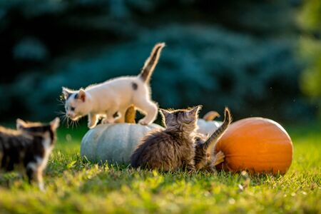 Cute siblings kittens play and sit around pumpkins on green autumn grass on a meadow. Warm evening light, photo shoot in the golden hour on October day shortly before Halloween.