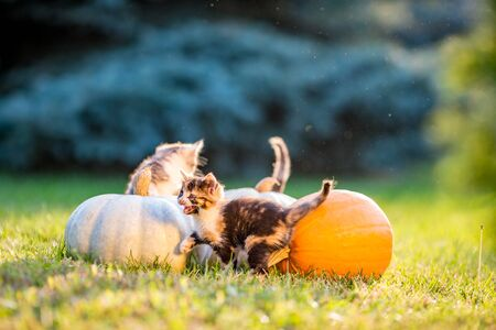 Cute siblings kittens play and sit around pumpkins on green autumn grass on a meadow. Selective shallow focus. Warm evening light, photo shoot at golden hour on October day shortly before Halloween. 版權商用圖片