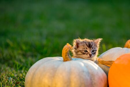 Cute siblings kittens play and sit around pumpkins on green autumn grass on a meadow. Selective shallow focus. Warm evening light, photo shoot at golden hour on October day shortly before Halloween. Stock Photo