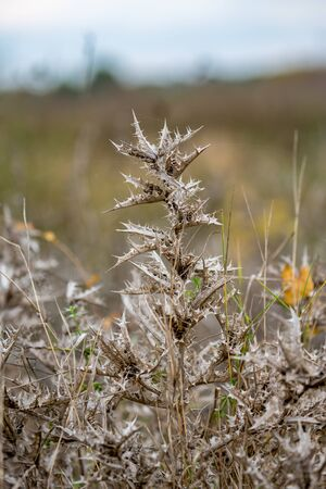 Beautiful dry prickly stem and leaves of thistle, Latin name Onopordum acanthium. Photographed in cloudy autumn day in the valley of Maritsa river near Dimitrovgrad, Bulgaria, blurred background