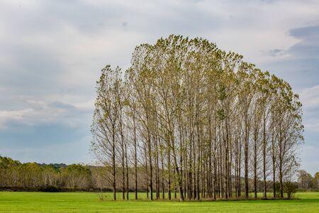 Álamos en fila, campo verde de finales de otoño búlgaro cerca de Zlato Pole village, municipio de Dimitrovgrad, provincia de Haskovo, Bulgaria, Europa. Increíble paisaje paisaje, hermoso cielo Foto de archivo