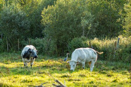 Oiseau héron éclairé par la lumière du soleil et brouillé deux vaches bleues belges à côté, race de viande spéciale sur terrain d'herbe en journée d'été ensoleillée en fin d'après-midi, partie flamande, Belgique, Europe