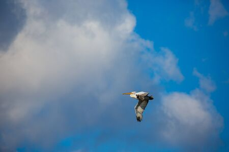 Amazingly beautiful big Dalmatian single pelican flying with big span of wings. Cloudy winter blue sky over Porto Lagos, Northern Greece. Picturesque frozen moment of Nature