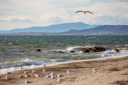 One seagull flying over flock of seagulls resting on the beach and looking towards the sea. Late autumn scenery day near the village of Fanari, region of Xanthi, Northern Greece. Selective focus