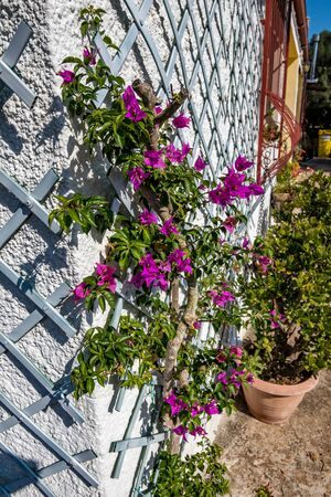 Country home, plant-friendly white wall architectural detail on house building with amazing blooming bougainvillea growing in a pot near Mesagne, Italy, sunny morning