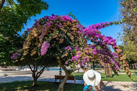 Unrecognizable female with white hat and blue rucksack takes photo of amazing big blooming bougainvillea tree, Mesagne, Italy, sunny day 版權商用圖片