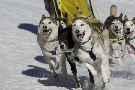 mushing: dogs at race with sledge