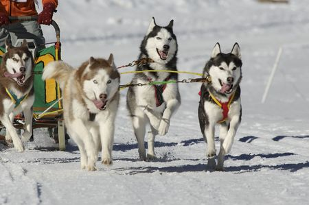 huskies: dogs at race with sledge