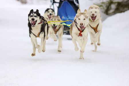 mushing: front view of siberian sled dog huskys at race in winter