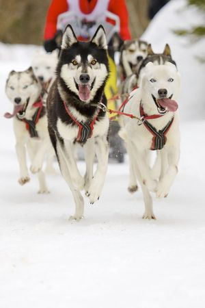 huskies: front view of siberian sled dog huskys at race in winter