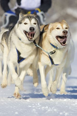 huskys: front view of siberian sled dog huskys at race in winter