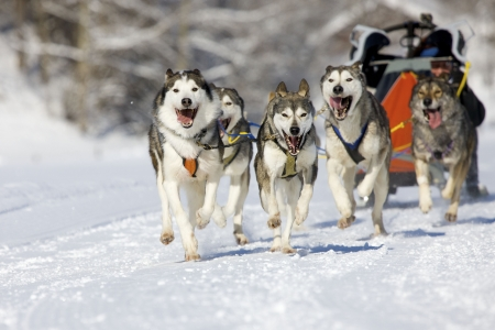 huskies: musher hiding behind sleigh at sled dog race on snow in winter Stock Photo