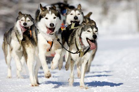 ?    ?     ?    ? �sledge: vista frontal en cuatro huskys siberiano en carrera en el invierno