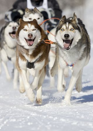 sled: front view at four  siberian huskys at race in winter