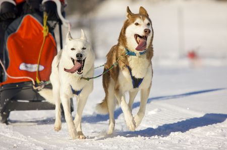 front view of siberian sled dog huskys at race in winter Stock Photo - 4693530