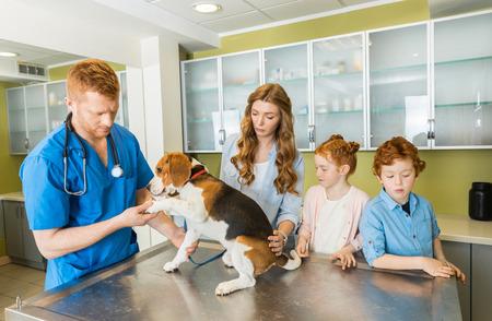 Veterinary examining Beagle dog at clinic