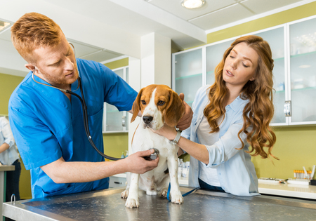 Doctor examining Beagle dog with woman assistant Foto de archivo