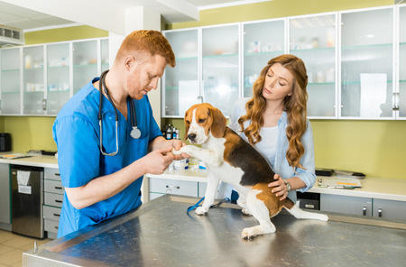 Doctor examining Beagle dog with woman assistant Stock Photo