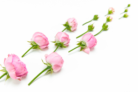 Close-up view of beautiful pink rose flowers and buds isolated on white