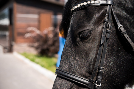 beautiful black purebred horse with bridle