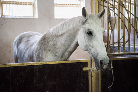 white purebred horse standing in stable and looking at camera