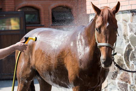person washing brown purebred horse outdoors Zdjęcie Seryjne - 83260584
