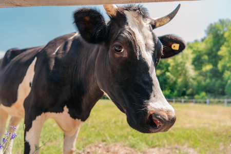horned cow standing on sunny pasture and looking at camera
