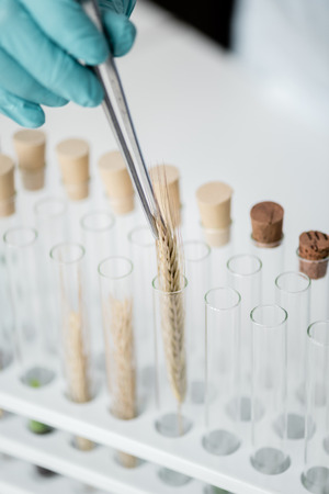 professional scientist making experiment with wheat ears in test tubes Stock Photo