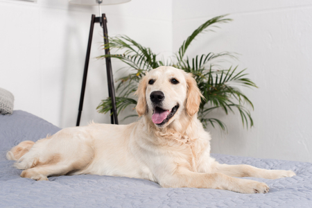 fluffy golden retriever dog lying on bed Reklamní fotografie - 84162335