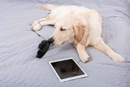 retriever dog with headphones and digital tablet lying on bed